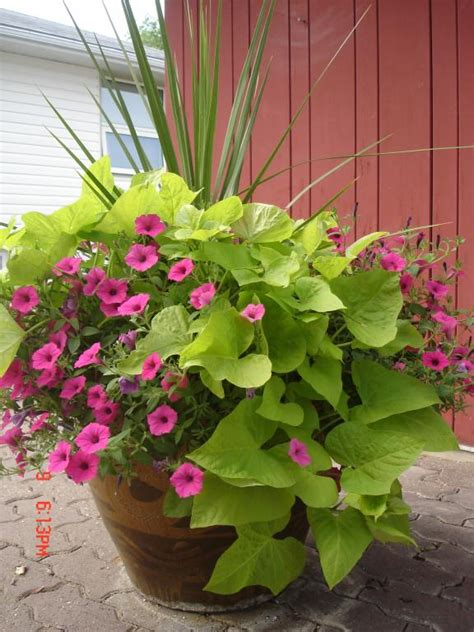 amazing containers for gardening 6 container with sweet - Sweet Potato Container Garden