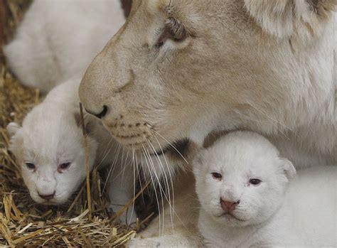 imagenes leon blanco fotos desdelavegard ub solis nacen en polonia tres leones