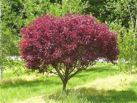 cistena plum flowering shrub cistena plum prunus cistena big cis shrubs