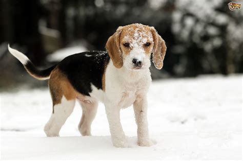 winter puppy keeping dogs happy healthy through the winter months pets4homes