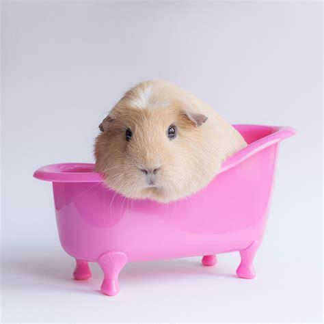 pig in bathtub meet professor booboo the cutest guinea pig in the world