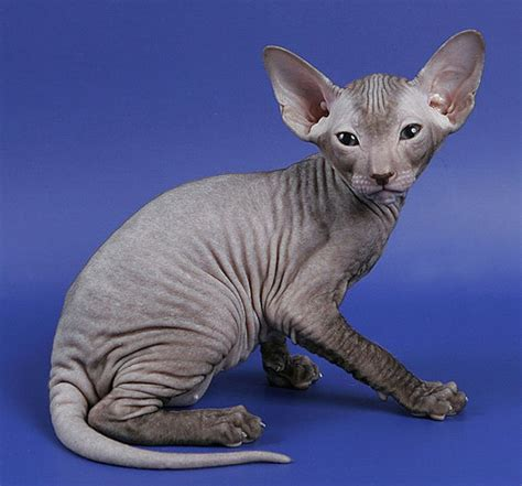 1000  images about Sphynx and Peterbald Cats on Pinterest