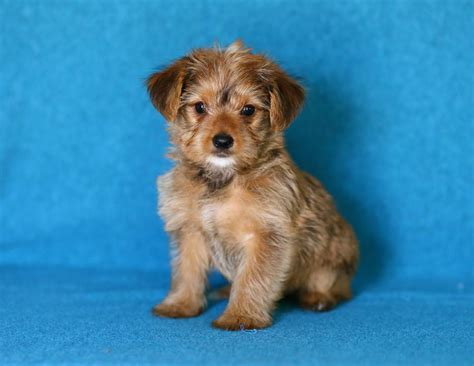 yorkie poo puppies for sale mn lovable yorkie poo puppies puppyindex