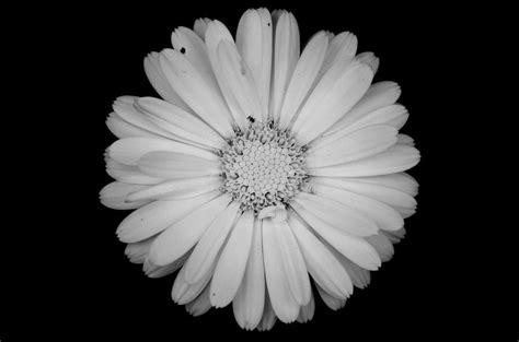 desktop wallpaper black and white flowers black and white images of flowers 23 desktop wallpaper