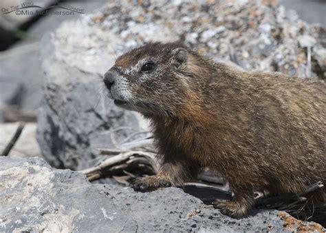 groundhog day utah groundhog day utah 28 images lively lessons groundhog