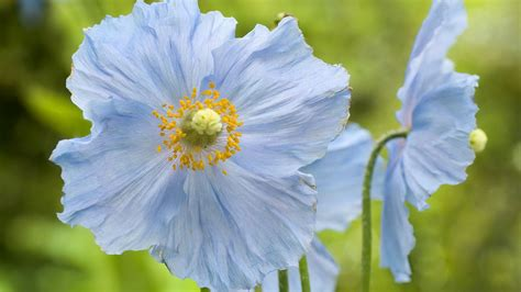 beaming flowers picture beautiful flower in bloom light light blue flower blue yellow flowers