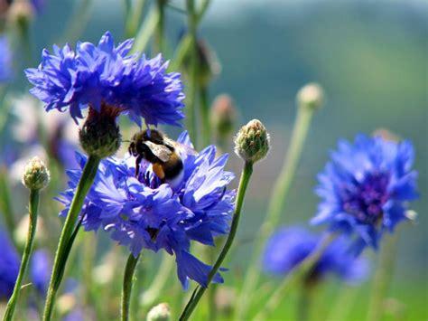 Pflanzen Im Garten 2567 by Kornblumen Im Garten Locken Hummeln An