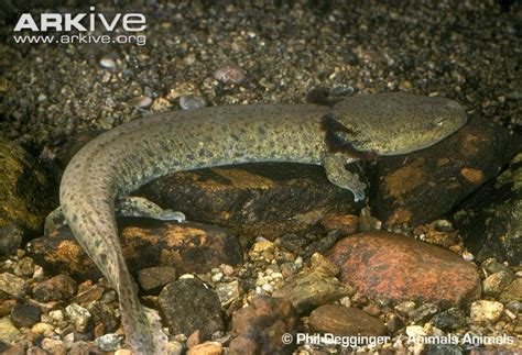 pictures of mud puppies common mudpuppy photos and facts necturus