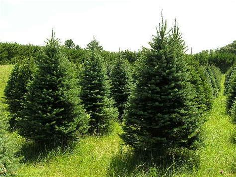 i could grow christmas trees homestead hobby farm