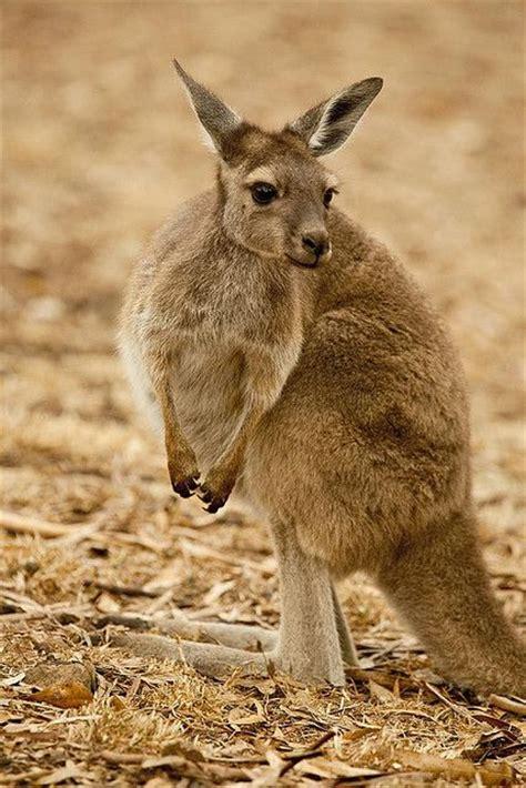 17 best images about animal alphabet k on pinterest