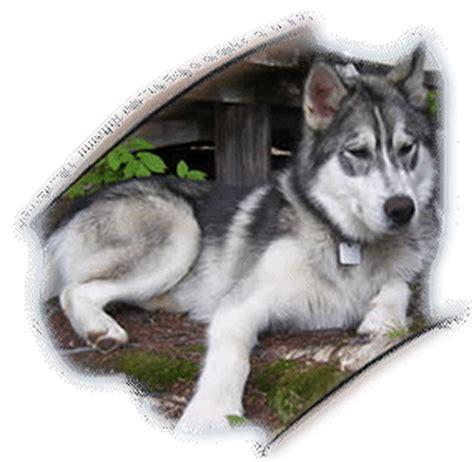 pomeranian husky for sale nc chihuahua pomeranian mix information clinic breeds picture