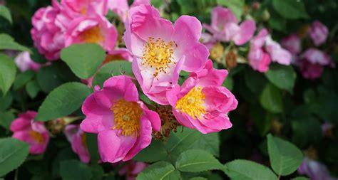 wild prairie rose iowa s state flower serious north dakota state flower the wild prairie rose