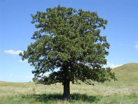 oak tree 6 oak tree photos biological science picture
