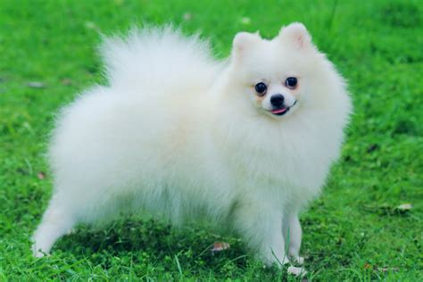 small pomeranian for sale pomeranian puppies for sale bazar