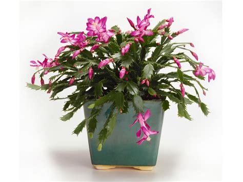 christmas plants christmas cactus care hgtv