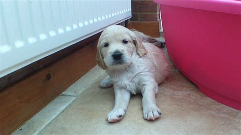 golden cocker retriever uk golden retriever x cocker spaniel forever puppies wisbech cambridgeshire pets4homes