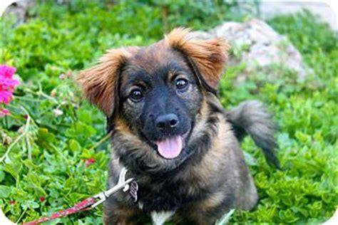 corgi puppies los angeles avril adopted puppy los angeles ca corgi pekingese mix