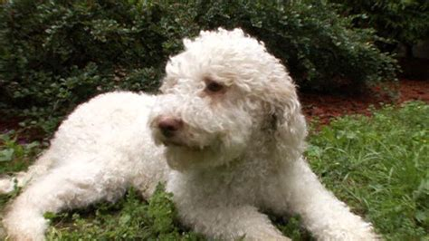 goldendoodle club of america image gallery lagotto romagnolo