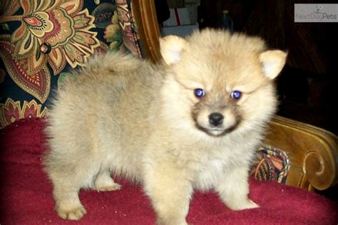 pomeranian puppies in alabama gizmo beautiful purebred pom ckc reg pomeranian puppy for sale near