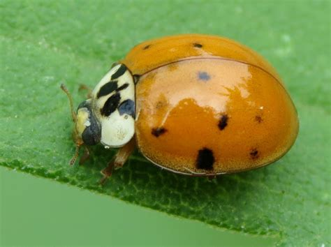 asian lady beetle japanese ladybug project noah