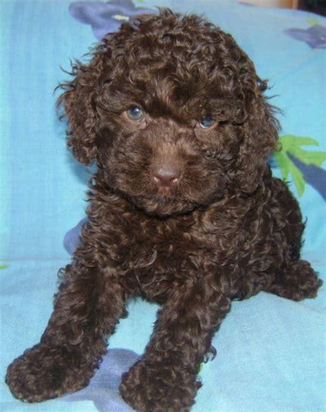 spoodle puppies non shedding dogs australia breeds picture