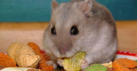 Makanan Hamster Dan Hewan Pengerat Biji Bunga Matahari 400grm jeli memilih makanan hamster