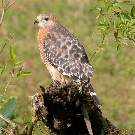 most common hawks in the eastern states common raptor