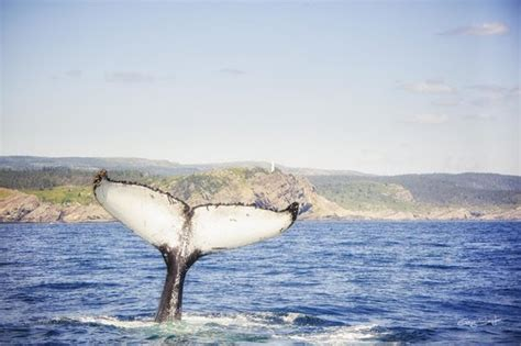 mullowney s boat tours whale fluke facing north head bay bulls picture of