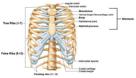 thoracic cage diagram app 111 bony landmarks anatomy 111 with earl at cortiva