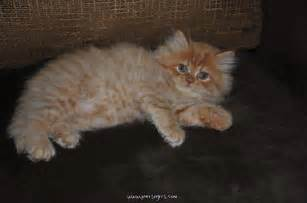 big fluffy big fluffy cat cats picture