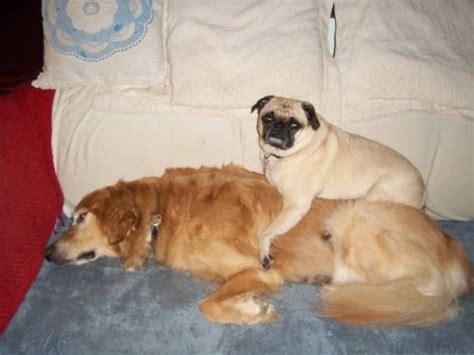 pug or golden retriever pug big spoon golden retriever spoon goldens and pugs my two favorite