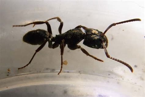 black ant black ant insects world