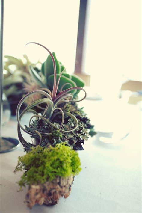 images  staghorn ferns tillandsia air