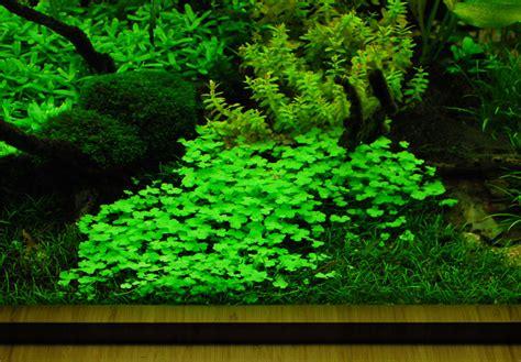 Tanaman Aquascape Hydrocotyle Tripartita hydrocotyle tripartita japan cup sociedad acuari 243 fila