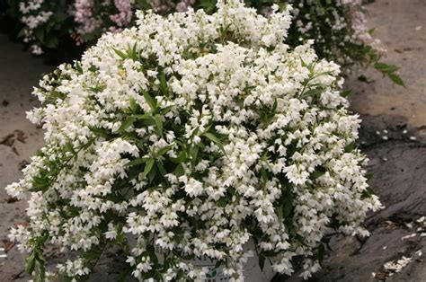 yuki snowflake deutzia  flurry  big white flowers