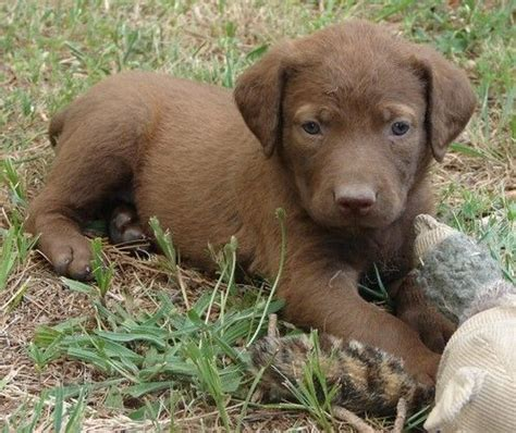chesapeake bay puppies 25 best ideas about chesapeake bay retrievers on chesapeake bay curly