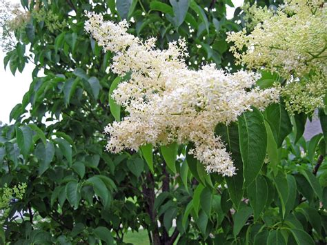 lilac tree hoe and garden pictures japanese tree lilac