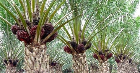 Hasil Pupuk Bioboost bioteknologi bioboost k link aplikasi bioboost pada sawit