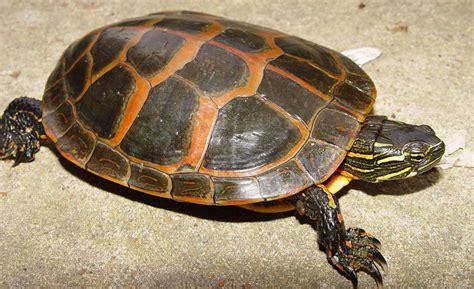 louisiana map turtle southern painted turtle chrysemys dorsalis hibians