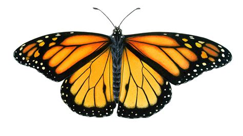 monarch butterfly the gallery for gt monarch butterfly drawing flying