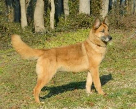 belgian malinois vs german shepherd belgian malinois vs shepherd breeds picture