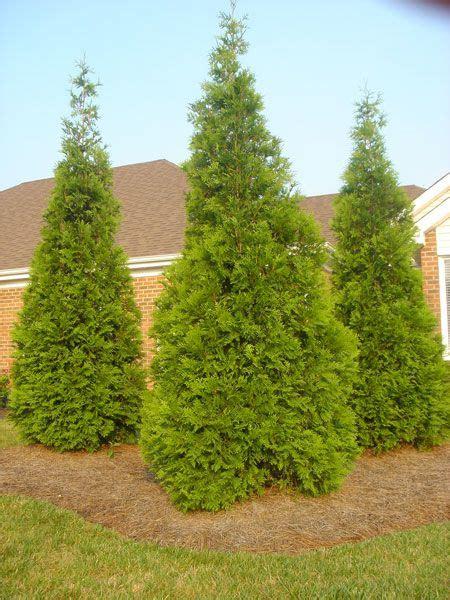 fast growing maple trees thuja gardens best 25 green giant tree ideas on pinterest green giant