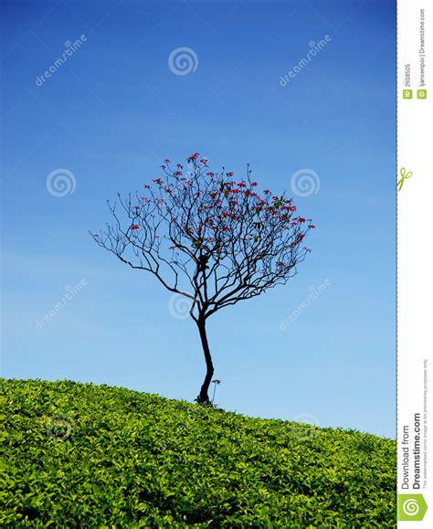 apple tree bandung lonely tree royalty free stock photo image 2608505