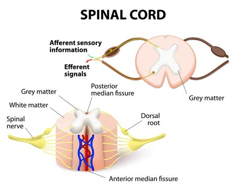 spinal cord pain after c section spinal cord injury classification and syndromes
