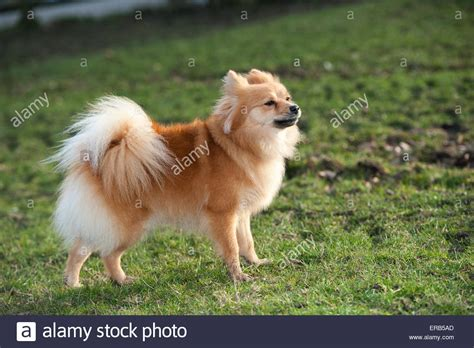 german spitz puppies german spitz www imgkid the image kid has it