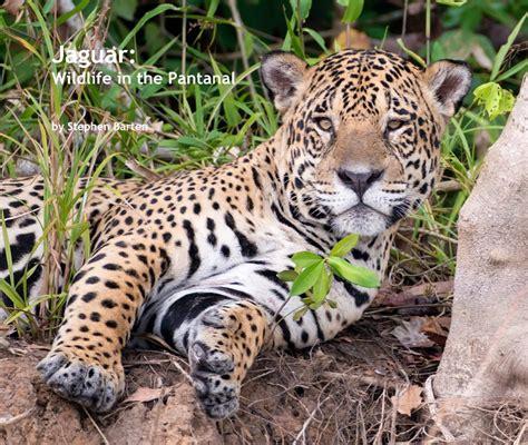 jaguar kingdom jaguar wildlife in the pantanal by stephen barten arts