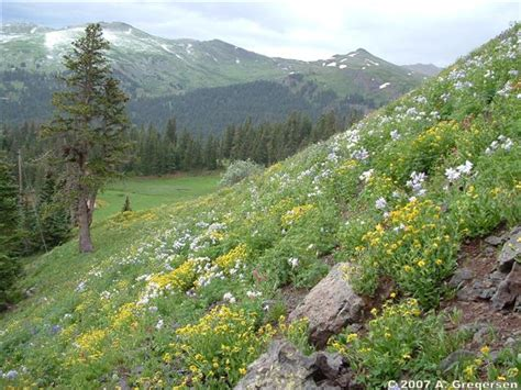 subalpine life zone plants and trees