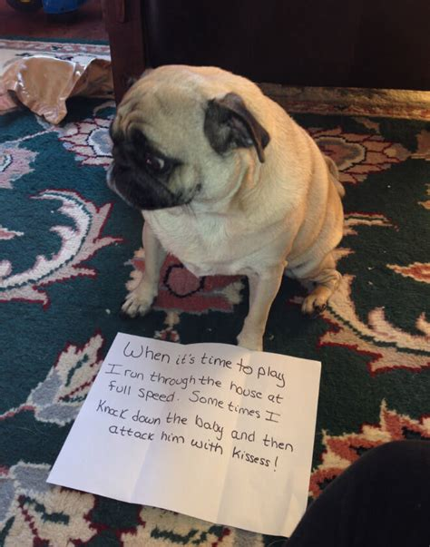 pug shaming 15 pug shaming pictures of pugs who did the crime and now doing the time