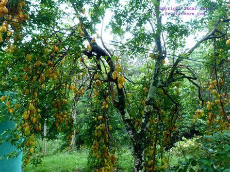 carambola fruit tree starfruit carambola on steroids