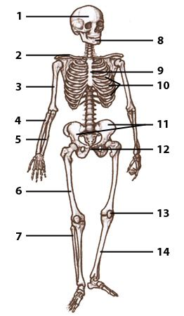 anatomy and physiology diagram quizzes free anatomy quiz articles what is the difference